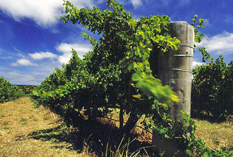 Регион виноделия Новый Южный Уэльс - Semillon vines of Cape Mentelle, Margaret River, Western Australia.