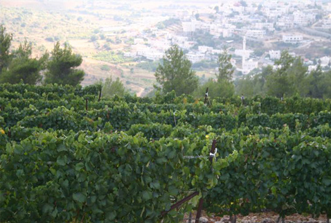 Регионы виноделия Израиля - Vineyard above the Judean Hills (Harey Yehuda), Israel.