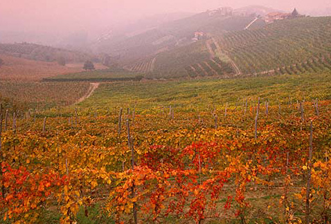 Регион виноделия Пьемонт -  Foggy autumn day in vineyards near Barbaresco, Piemonte, Italy.