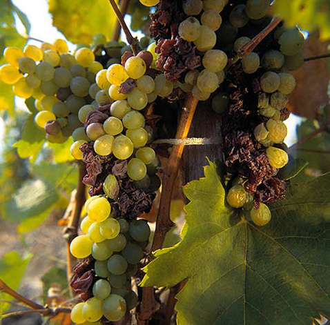 Регион виноделия Токай - Furmint grapes affected by Botrytis. Hungary. [Tokay]