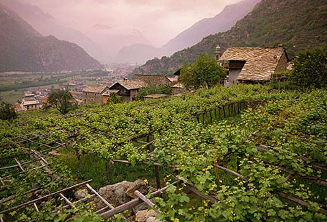 Регионы виноделия Северо-западная Италия - Nebbiolo vines on pergolas at Carema in the Aosta Valley, Piemonte, Italy. [Carema]