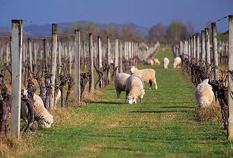 Регионы виноделия Новой Зеландии - Sheep grazing in vineyard of Matawhero Wines, Gisborne, New Zealand.
