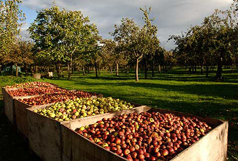 Производство бренди - Boxes of harvested apples in the Burrow Hill orchard of the Somerset Cider Brandy Company. Kingsbury Episcopi, Somerset, England