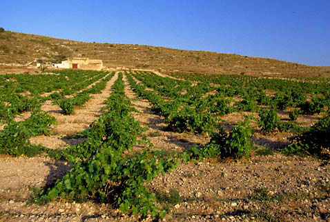 Регион виноделия Д.О. Йекла - Vineyard near Yecla, Murcia Province, Spain. [DO Yecla]